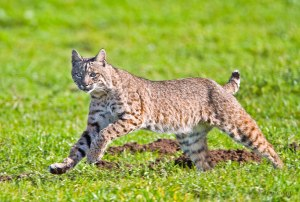 Bobcat, bobber. same thing, more or less.